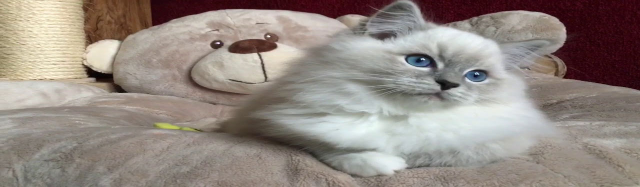 Blue Mitted Ragdoll Cats and Kittens in Chicago