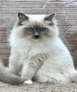 Blue Mitted Ragdoll_about