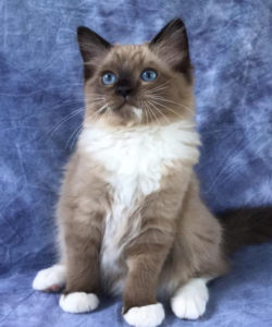 Seal Mitted Ragdoll Kittens For Sale