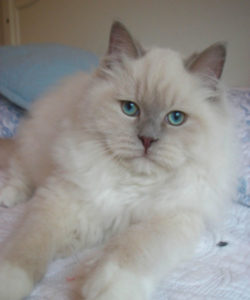 lilac ragdoll kittens for sale