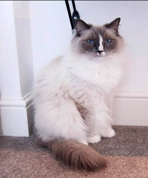 Mitted ragdoll