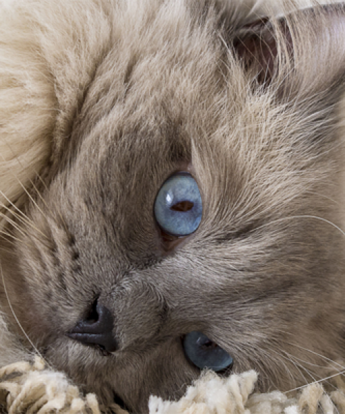 blue mitted ragdoll kittens for sale