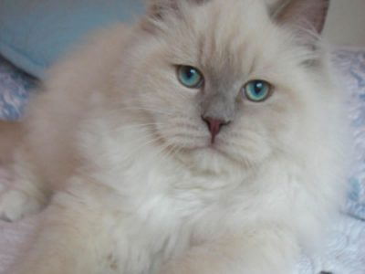 lilac ragdoll kittens for sale