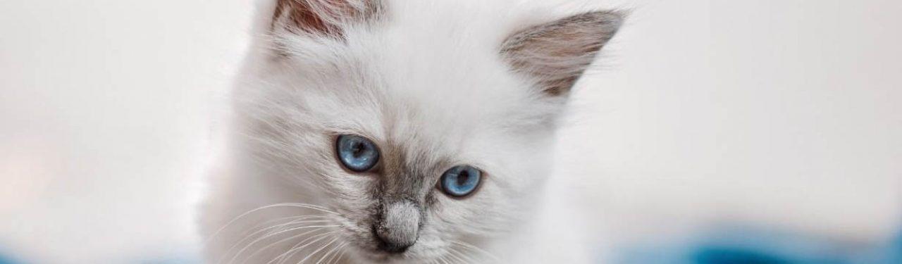 ragdoll kittens for sale