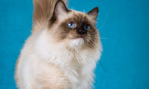 seal mitted ragdoll for sale